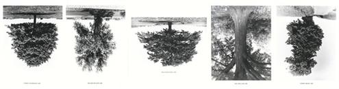 Flanders trees