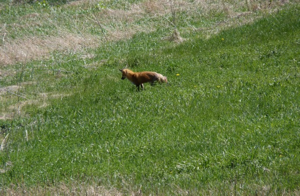 Fox in field 1