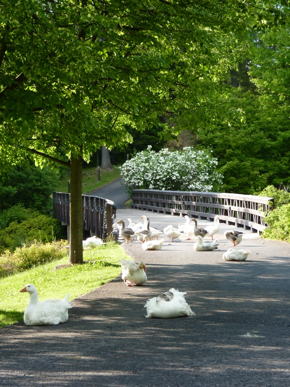garden geese
