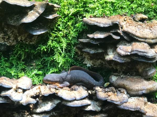 salamander home